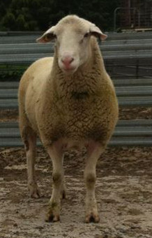 Colonsay Suffolk Ram